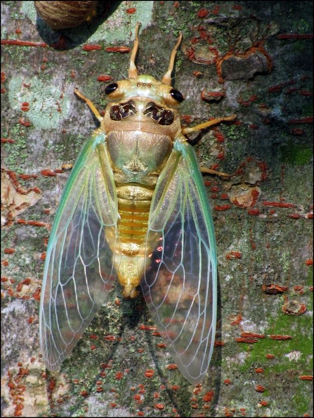 New Cicada 033