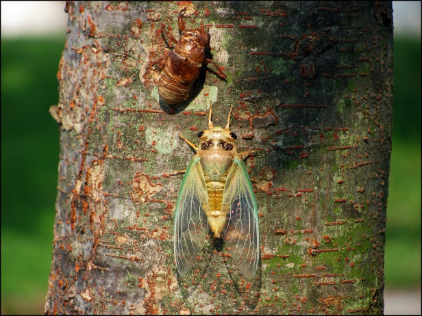 New Cicada 036