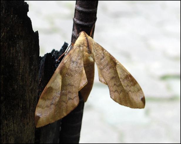 Moth 019