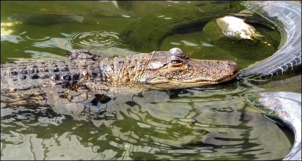 gators 027